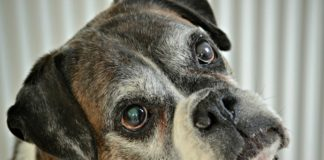 ¿Es importante hacer chequeos geriátricos a los perros mayores?