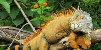 Cuidados básicos para una iguana-min