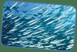 peces felices beco food pescado